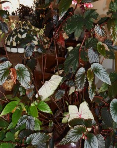 The cane Begonias, and even some Caladiums, are quite happy with their spot inside.