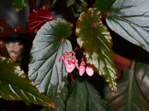 A favorite Begonia, which bloomed all summer, continues on into the winter indoors.  Fertilize to keep winter blooms coming.