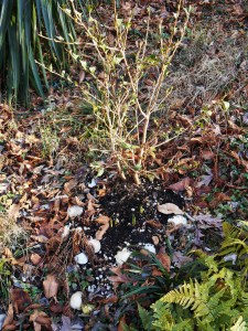 Although Camellias grow well in our garden, it is a constant struggle to protect new plantings from the deer.  Daffodils have begun to peak out of the soil at the base of this little shrub, and it is ready for a topdressing of fresh compost..