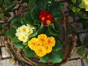 English primroses in a pot from  Northern Ireland