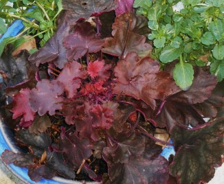 Heuchera sending up new leaves in December