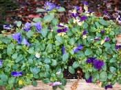 Another beautiful gift of flowers: Violas