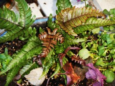 Autumn fern added to a pot yesterday to replace spent and frozen annuals.