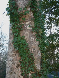 Ivy growing up the trunk of a mature Beech tree in our garden.