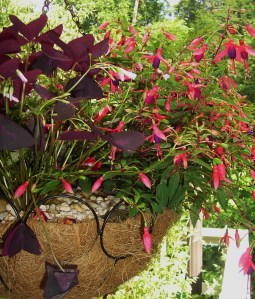 Fuchsias need shade, protection from wind, and abundant moisture to survive a Virginia summer.