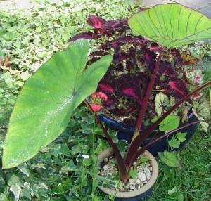 "Elephant Ear, Colocasia, ""Blue Hawaii"" , is a plant I shopped for extensively this spring."