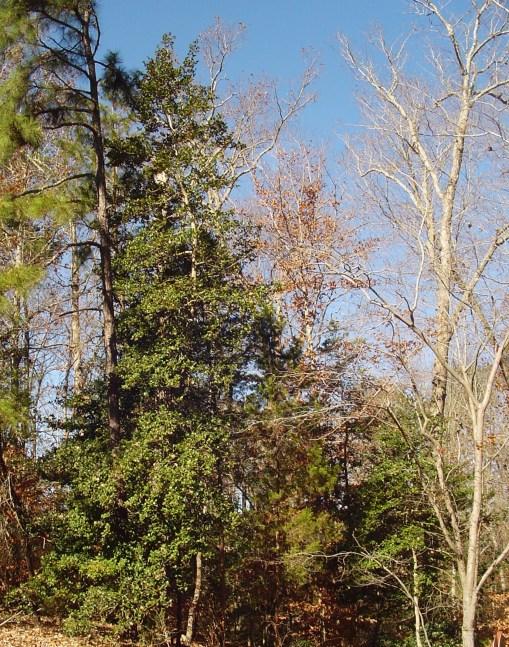 November 24 2013 trees 007