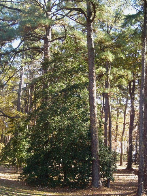 American Holly surrounded by white pines.