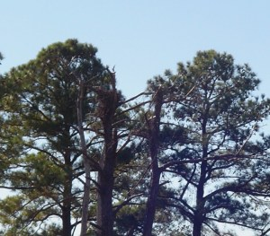 An eagle's nest is built into the top of a dead hardwood tree among the pines.
