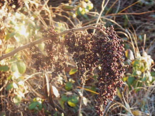 Sumac berries are still an important food source for wildlife.  However, cut away the old to make way for new growth by early spring.