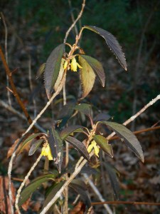 Forsythia buds were set by late autumn.  Winter pruning removes the spring flowers.  If you must trim a Forsythia back in winter, save the branches to force blooms inside in a vase of water.