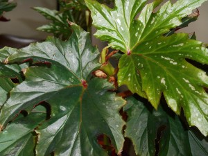 Cane Begonias, also growing near the orchid, help maintain humidity in the living room.