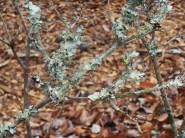 Lichen on an azalea branch