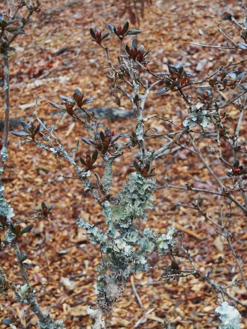Lichens growing on a budding Azalea branch.