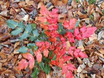 Oregon Grape Holly, Mahonia, won't be nibbled by deer.... although they may have eaten some of its flowers last week....