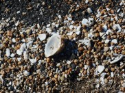 Shells, dropped onto the road by the gulls so they can eat the clam inside.