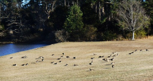 Only a few brave Canada geese grazed near the river on Monday afternoon.