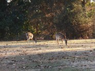 White tail deer grazing beside the Colonial Parkway ignore traffic.