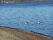 Canada Geese in the James River