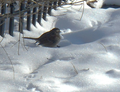 A few songbirds have returned to the garden, appreciative to still find seeds in the frozen Lantana bed.