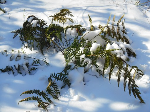 Autumn fern in our garden stands up even to this winter's frigid temperatures and snow.
