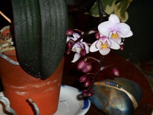 January 28 orchid 006