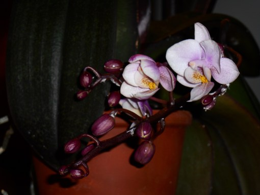 January 28 orchid 009