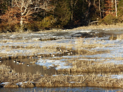 Ice covers the marsh at Halfway Creek where Canada Geese gather in search of food.