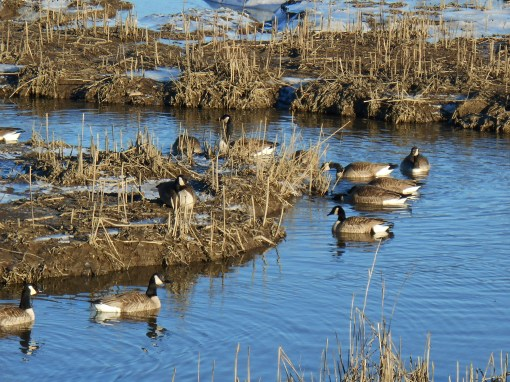 Canada Geese feeding along the marshes on Halfway Creek.