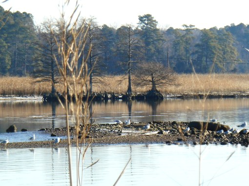 Sea gulls in a marsh by Jamestown Island