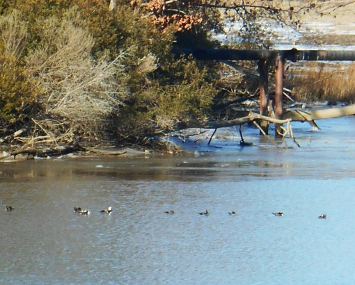 Ducks in College Creek