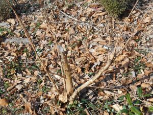 The same Crepe Myrtle, after pruning.