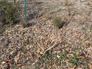 January 9 pruning 007