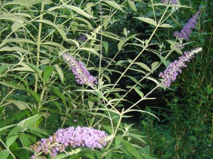 Butterfly bush, Buddhleia, blooms on new wood.  Cut the plants hard, within a foot or two of the ground, to control the shrub's size and get abundant bloom.  This shrub will continue to bloom until frost if you cut the dead flowers away throughout the summer.