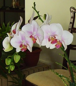 orchid arrangement 005