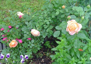 Roses respond to pruning with abundant bloom on new wood.  These English shrub roses don't require the same hard pruning a tea rose requires.