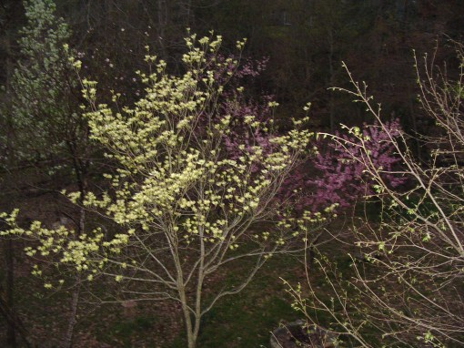 Dogwood tree in April
