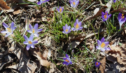 February 20, Lavender Crocus which bloomed this day two years ago.