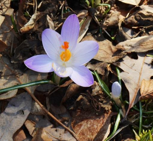 February 16 spring flowers 004