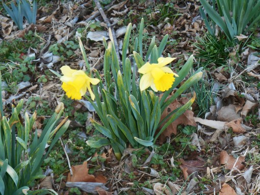 February 24, 2014 daffodils 003