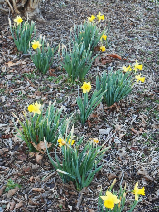The daffodil foliage emerged before the last deep freeze, and was burned by the cold.