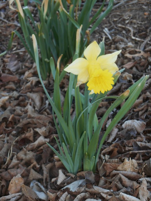 February 24, 2014 daffodils 007