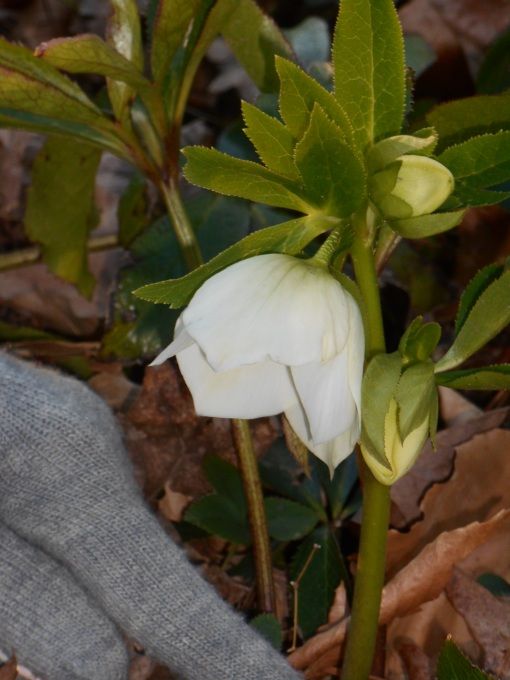 Hellebore in my friend's garden,