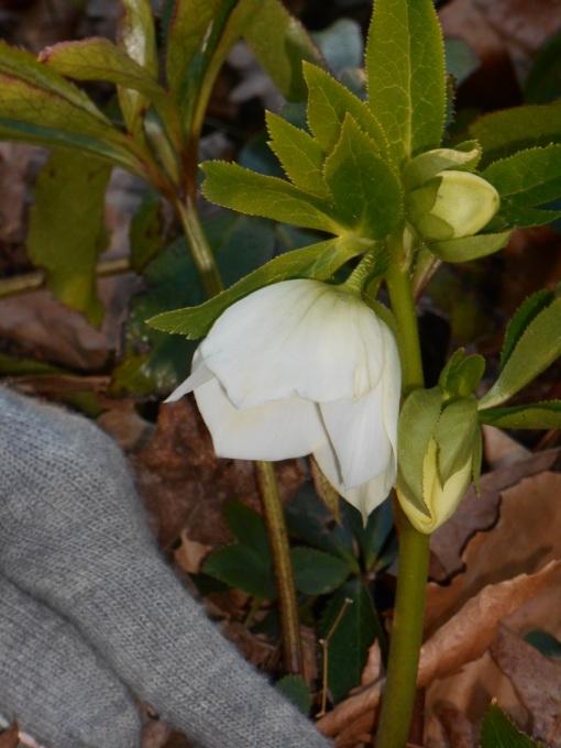 Hellebore in my friend's garden,