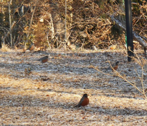 February 28, 2014  robins 004