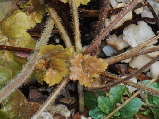 These newly emerging Heuchera leaves are growing into replace the many mature leaves recently eaten off by hungry does.