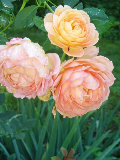 June 23  2013 begonias and garden 020