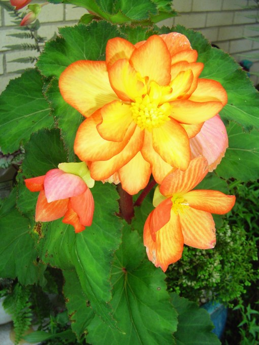 Tuberous Begonias may be started in plastic boxes in the same way as Caladium tubers are started.  Started by late February, they are ready top plant outside in late April.  Blooming here in June.
