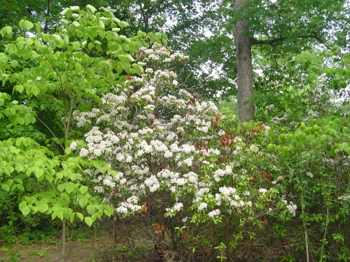 Mountain Laurel, a small evergreen tree, blooms each May.  Since every part of it is poisonous, deer leave it alone.