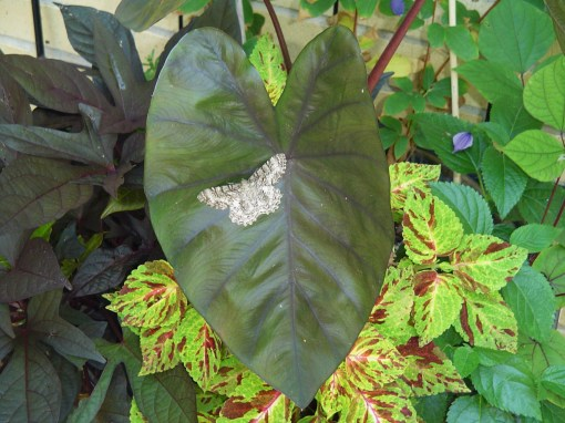 Elephant Ear, Colocasia, contains poisonous compounds which irritate the lips, mouth, and throat.  The coleus and sweet potato vine behind it are, sadly, tasty.